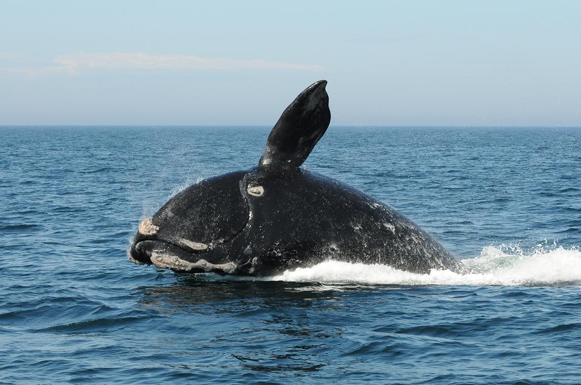 North Artlantic Right Whale (Eubalaena glacialis) (Photo: Marianna Hagbloom / Anderson Cabot Center, New England Aquarium, Collected under Canadian SARA permit)
