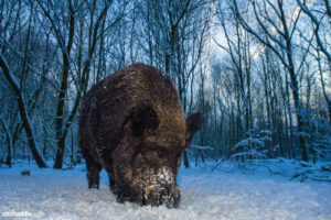 Wild boar (Sus scrofa) (Photo: Lars Soerink / Vilda)