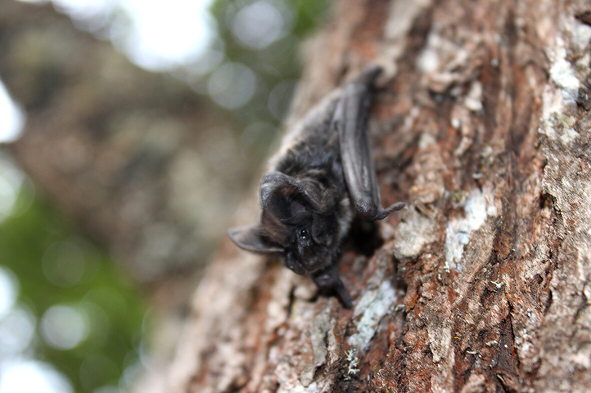 Barbastelle bat (Barbastella barbastellus) (Photo: Wildlife Montenegro)