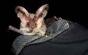 Alpine long-eared bat (Plecotus macrobullaris) (Photo: Wildlife Montenegro)