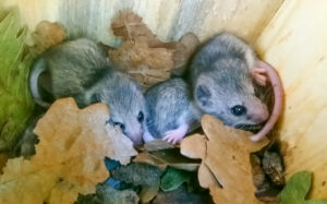 Young Mouse-tailed dormice in nest box (Photo: Nedko Nedyalkov)
