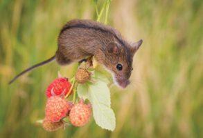 Striped field mouse (Apodemus agrarius) on raspberry (Photo: L. Ilminska)